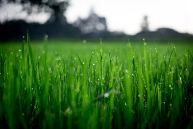 Grass Seeds Regina